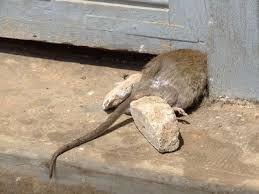 Как избавиться от запаха дохлой мыши в доме, народными средствами